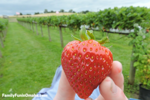 Strawberry Picking in Omaha | Family Fun in Omaha