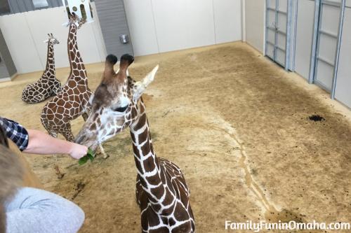 A person feeding a giraffe at the Lincoln Children\'s Zoo.