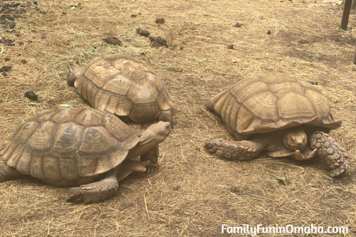 Three large tortoises at the Lincoln Children\'s Zoo.