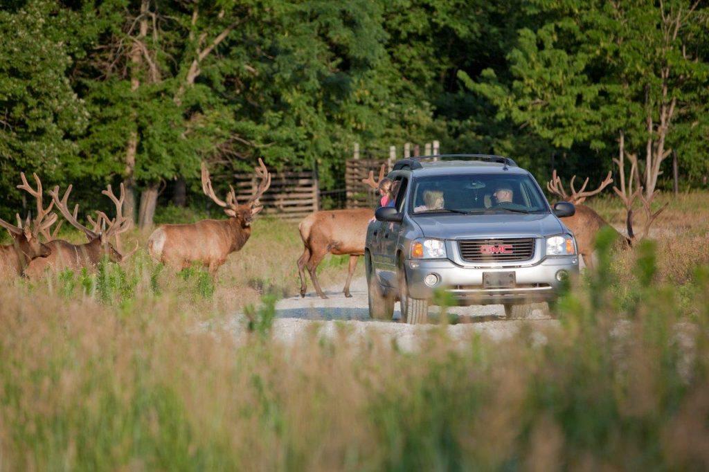 Deer walking on to a road behind a car.