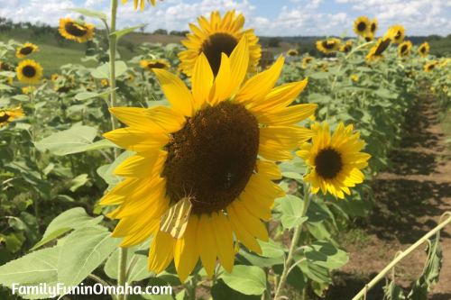 A close up of a sunflower at Ditmars Orchard
