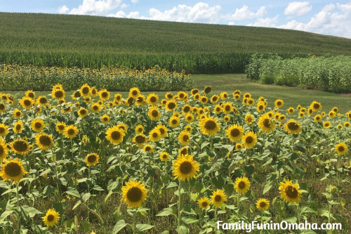 A field of sunflowers at Ditmars Orchard