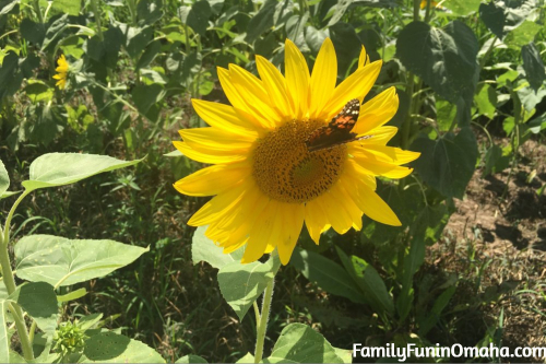A close up of a sunflower with a butterfly on it at Ditmars Orchard
